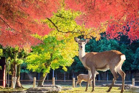 《風采京都》日本水鄉~小威尼斯.悠然美山.琵琶湖5日