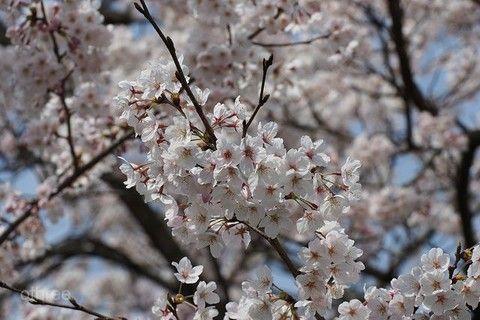 櫻豔四都京都百選賞櫻.醍醐寺.漫步櫻花鐵道.長腳蟹吃到飽5日