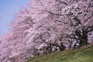 立山黑部動感雪牆+粉蝶花+紫藤花+富士芝櫻六日-香草