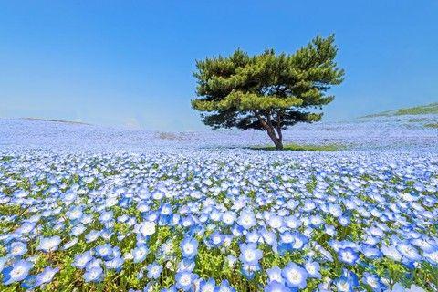 ~季節限定~花花世界東京足利紫藤、常陸粉蝶、館林杜鵑、羊山芝櫻溫泉饗食五日遊