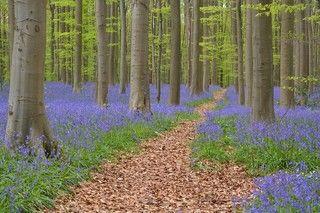 哈勒布紫色森林
