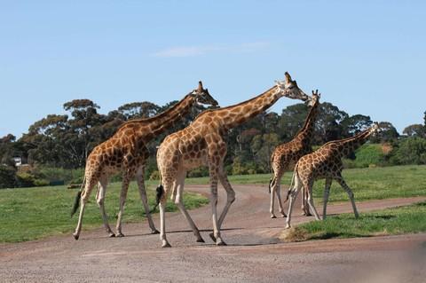 威勒比開放式動物園