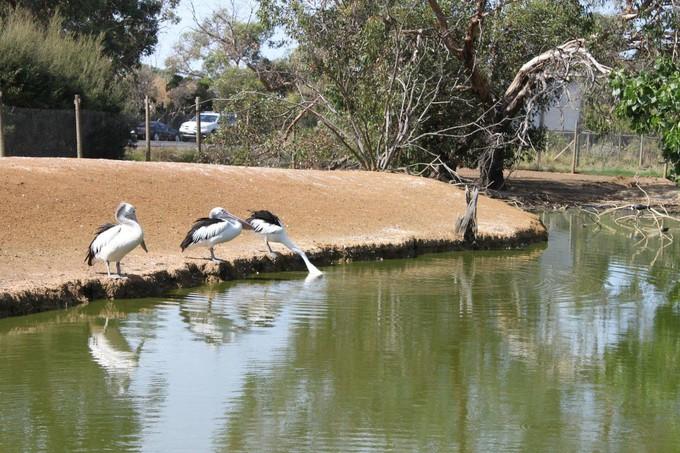 菲利普島野生動物園