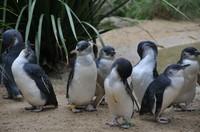 菲利浦島-企鵝遊行