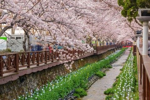 余佐川(櫻花之橋)