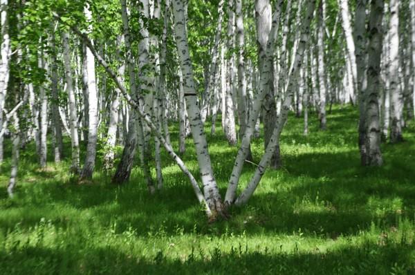 白樺林童話森林