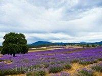 澳洲薰衣草農場