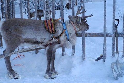 馴鹿雪橇(羅瓦涅米)