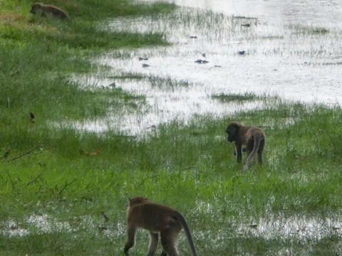 威士頓濕地長鼻猴園區
