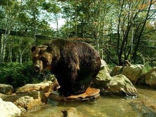 BEAR Mt.野生熊牧場